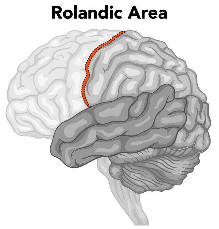 Rolandic Area of the Brain
