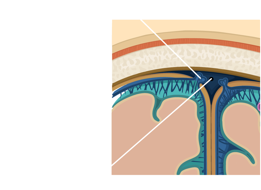 Layers of the Meninges