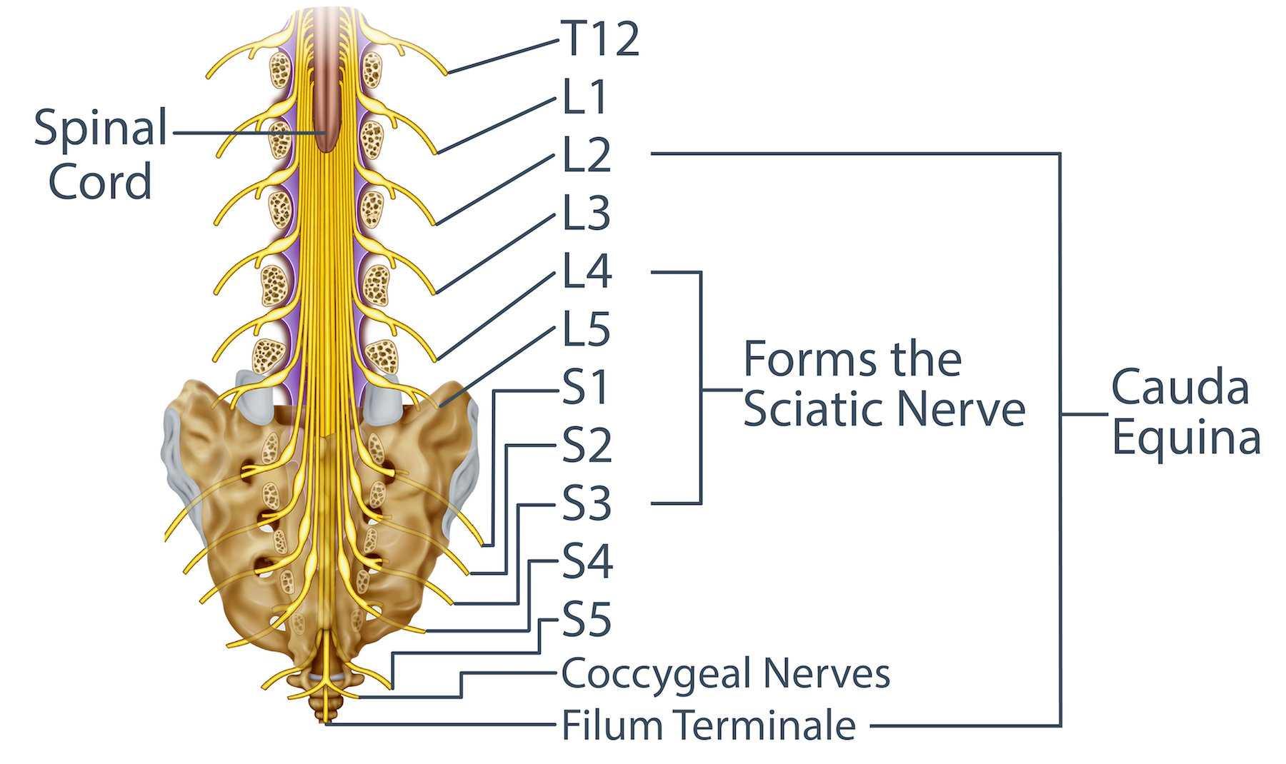 Cauda Equina and the Sciatic Nerve