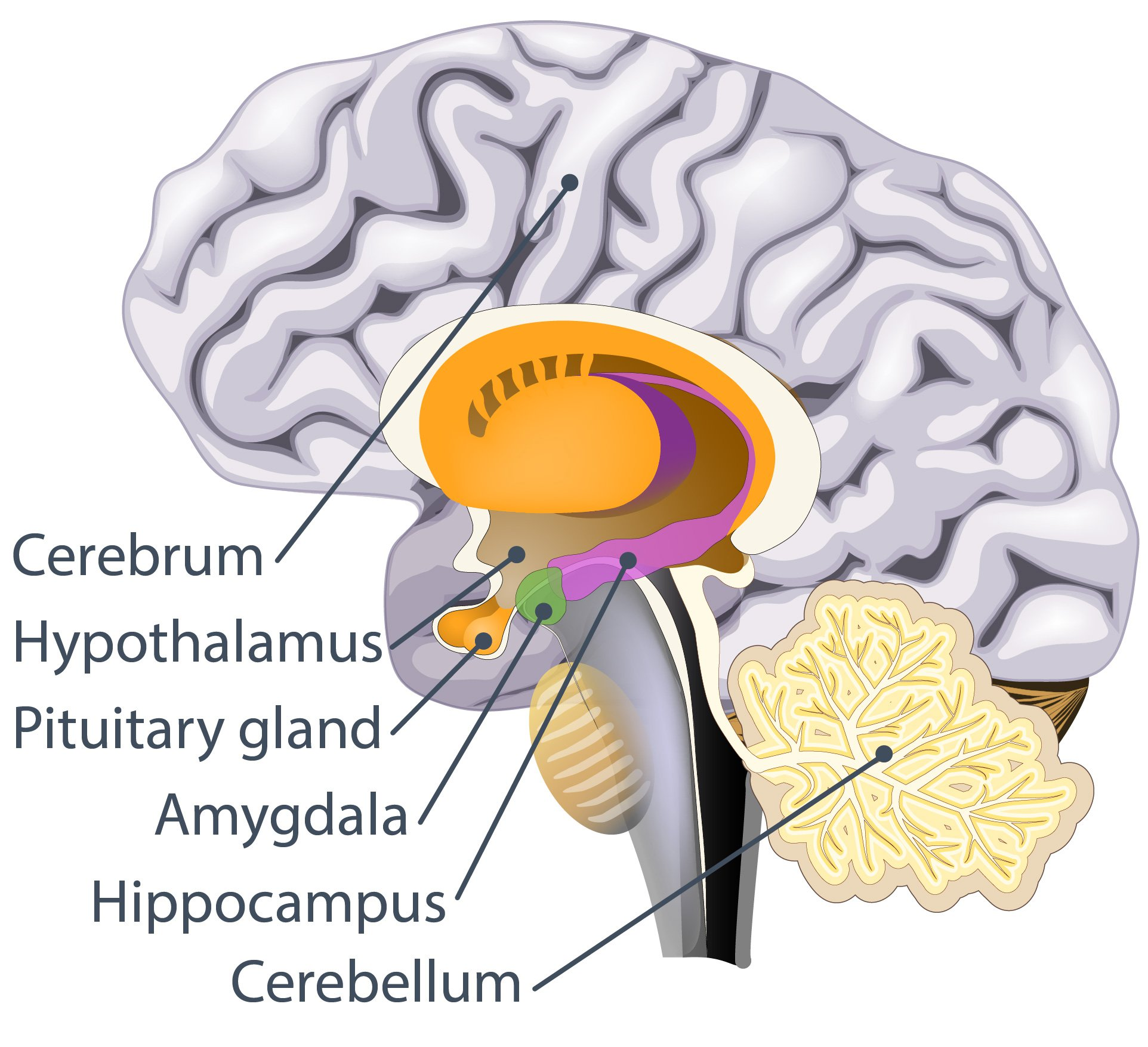 the-pituitary-gland