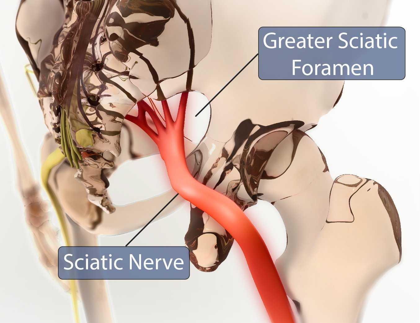 Greater Sciatic Foramen Sciatic Nerve