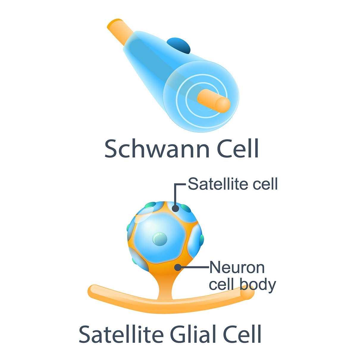schwann-cells-satellite-cells