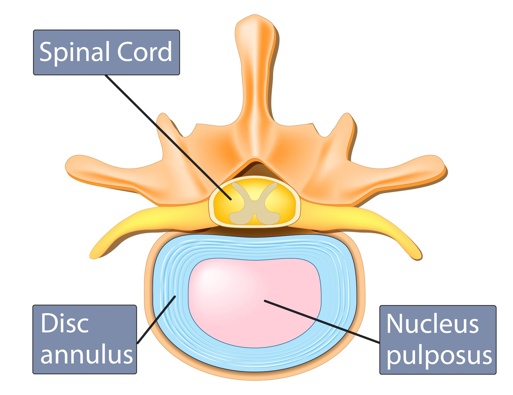 Intervertebral Disc Anatomy