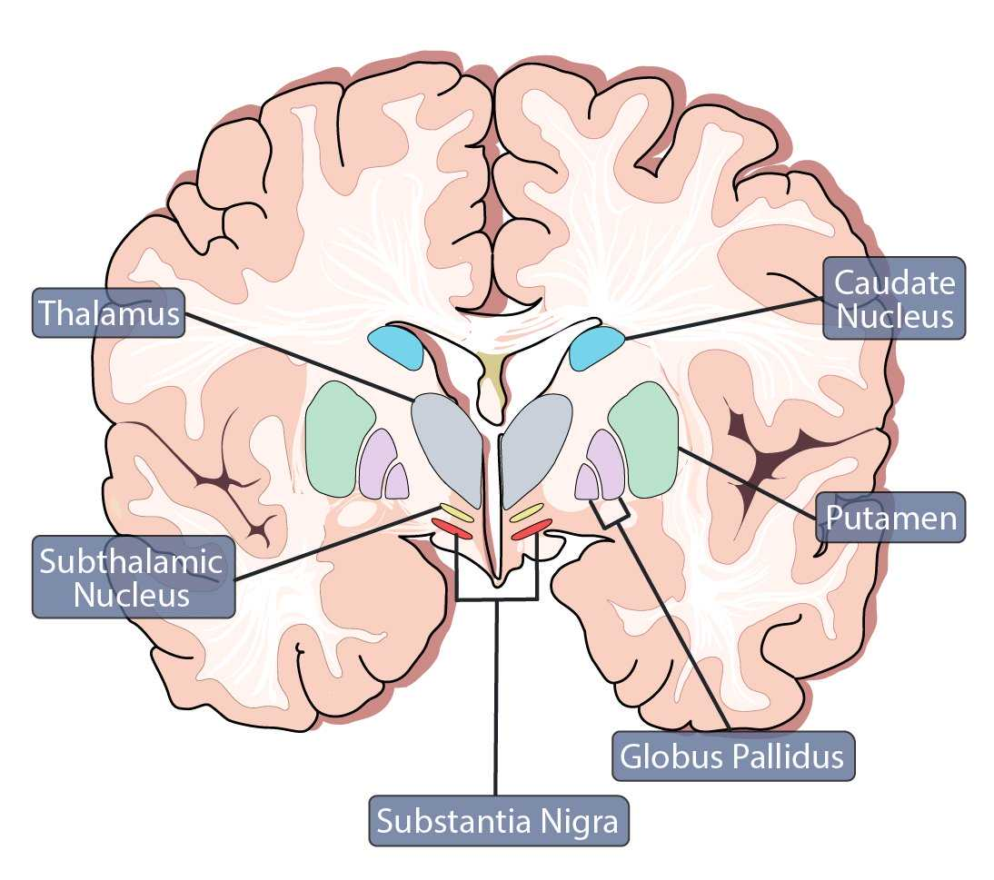 Basal  and Substantia Nigra